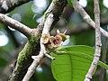 Syzygium malaccense in Kadavoor.jpg