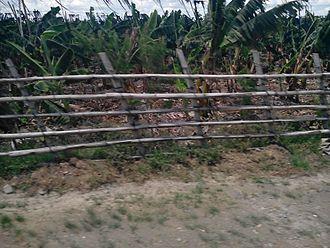 Santo Tomas, Davao del Norte - Banana plantation, located at the southern portion of Sto. Tomas