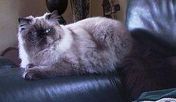 Himalayan Cat Rescue In Florida