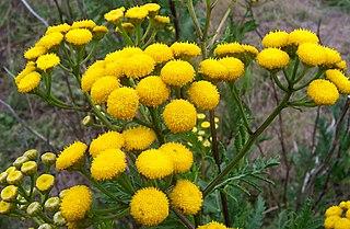 <i>Tanacetum</i> Genus of flowering plants