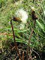 Taraxacum serotinum sl27.jpg
