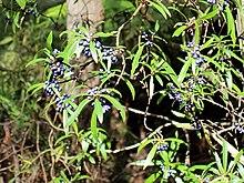 Tasmannia plant in fruit Werrikimbe.jpg