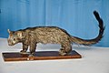Taxidermied Civet Cat - Palta - North 24 Parganas 2012-04-11 9580.JPG