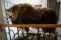 Taxidermied Muskox (Ovibos moschatus, utstoppa moskusokse), Oppdal Turisthotell, Norway (previously on display at the tourist information?) Photo 2019-04-09 H.jpg
