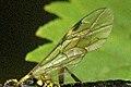 Tenthredopsis.tessellata9.-.lindsey.jpg