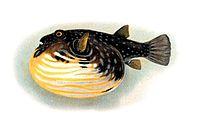 Tetraodon-hispidus.jpg