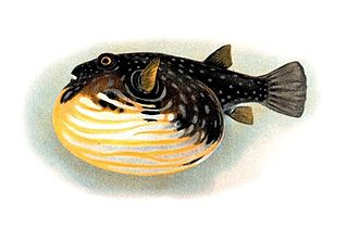 Fish physiology - When threatened, the toxic pufferfish fills its extremely elastic stomach with water.