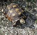Texas Tortoise (Gopherus berlandieri) (57391706).jpg