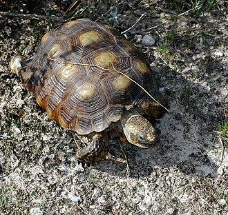 Texas tortoise - Image: Texas Tortoise (Gopherus berlandieri) (57391706)
