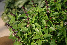 Thai basil - Wikipedia
