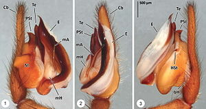 Palpal bulb - Left palpal bulb of a male Thaida chepu: 1 – from the right (side nearest the mouth); 2 – from the underside; 3 – from the left (side away from the mouth) bH – basal haematodocha; Cb – cymbium; E – embolus; HSt – hook of subtegulum; mA – median apophysis; mH – median haematodocha; PSt – process of subtegulum; St – subtegulum; Te – tegulum See text for further explanation.