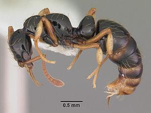 Profile view of ant Thaumatomyrmex atrox speci...