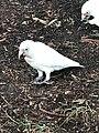 The Australian white Parrot.jpg