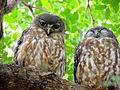 The Barking Owl.jpg