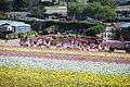 The Flower Fields at Carlsbad Ranch 73 2014-04-28.jpg