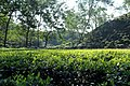 The Kumbha Tea Garden in Silchar, Assam.jpg