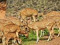 The Spotted Deer of Hill Palace, Kochi, Kerala.jpg