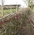 The laying of a traditional hedge (6b) - geograph.org.uk - 1750503.jpg