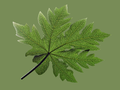The leaf of the plant Carica papaya.png