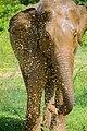 The srilankan elephant.jpg