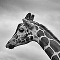 Thoughtful giraffe (Unsplash).jpg