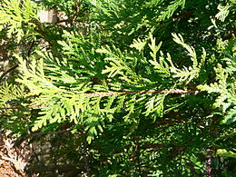 Vakarinė tuja (Thuja occidentalis)