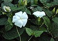 Thunbergia fragrans 02.JPG