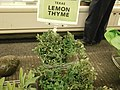 Thyme for sale.jpg
