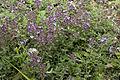 Thymus praecox-subsp-praecox bray-sur-somme 80 25062007 3 1.jpg
