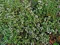 Thymus vulgaris 001.JPG