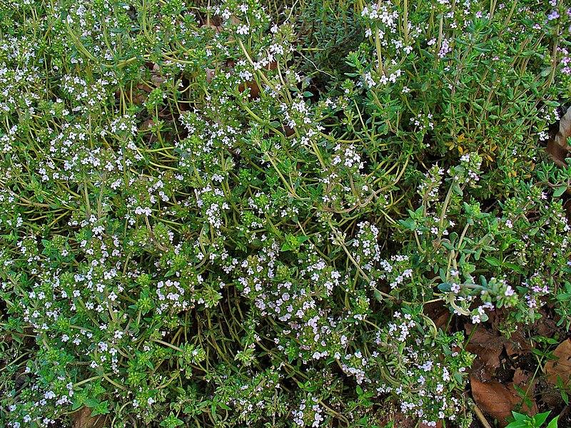 File:Thymus vulgaris 001.JPG