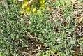 Thymus vulgaris 3zz.jpg