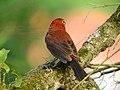 Tico Tico Rei Macho (Coryphospingus cucullatus) em Cesario Lange SP.jpg