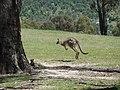 Tidbinbilla Kangaroo.jpg