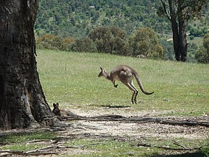 Tidbinbilla Nature Reserve - Image: Tidbinbilla Kangaroo