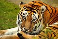 Tiger - Shepreth Wildlife Park (25275361805).jpg