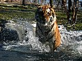 Tiger Attack - Flickr - jeffpearce.jpg