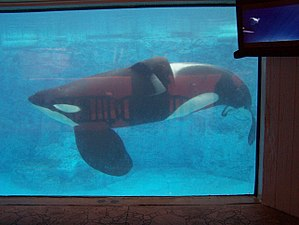 Killer whale attacks on humans - Tilikum, who was involved in 3 deaths, swims in the Dine with Shamu exhibit in Orlando, Florida.