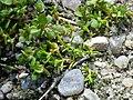 Tillaea aquatica sl3.jpg