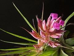 Tillandsia geminiflora 1.jpg