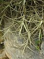 Tillandsia sp. - Flickr - pellaea (1).jpg