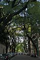 Tipa Tree lined street in Palermo.jpg