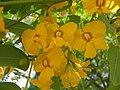 Tipuana tipu Flowers 1.jpg