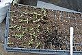Tomato seedlings (464346184).jpg