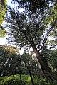 Torreya nucifera Torinoko-sanshou-jinja 2.jpg