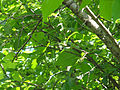 Toxicodendron radicans SCA-03131.jpg