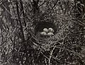 Toxostoma rufum - nest 1904.jpg