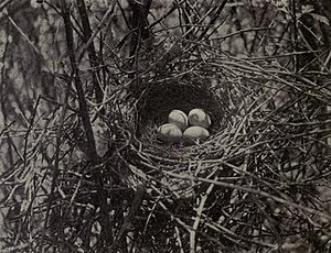 Brown thrasher - nest and eggs