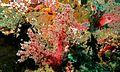 Tree Coral (Scleronephthya sp.) (6088661955).jpg