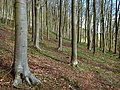 Trees In Rooks Castle Wood, North Petherton - geograph.org.uk - 1241846.jpg